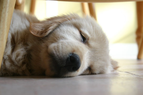 Golden retriever, Gracie