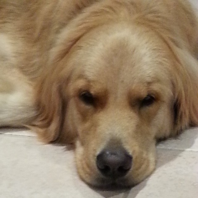 Gracie, our dear Golden girl