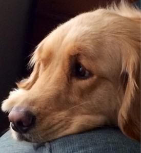 Gracie, our Golden Retriever, my knitting companion