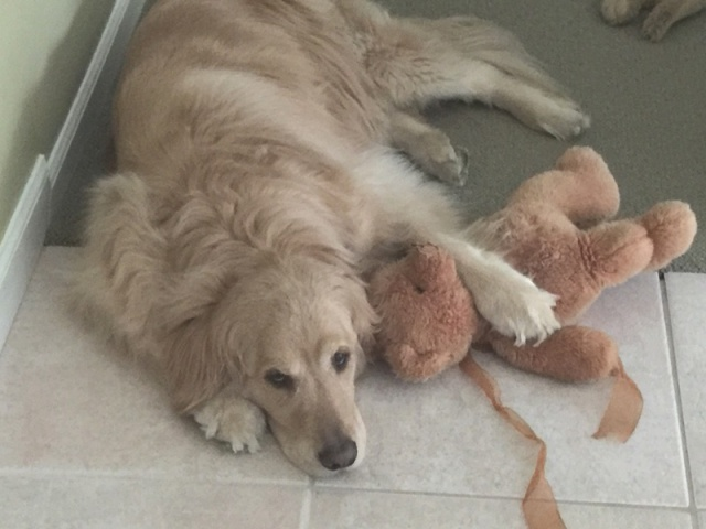 Gracie, our baby, a golden retriever